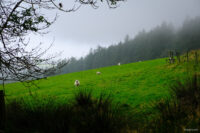 A field of sheep on a foggy hillside, wooded hill in background